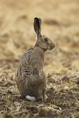 Rabbit on the field, Slovakia
