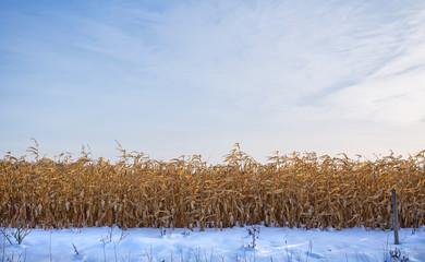 Standing field of gold colored corn under blue wispy winter sky