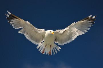 flying white seagull herring gull