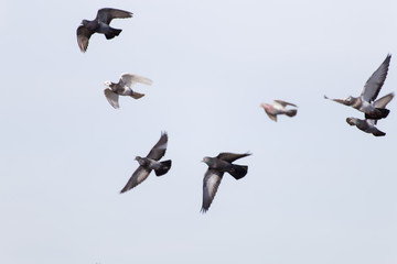 Pigeons Fly  in Open Blue Sky