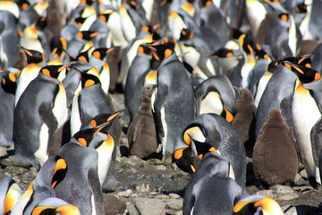 King Penguins in Fortuna Bay