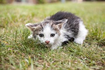 Small white kitten - white and gray