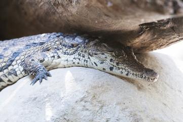 Printed roller blinds Crocodile Junges Krokodil