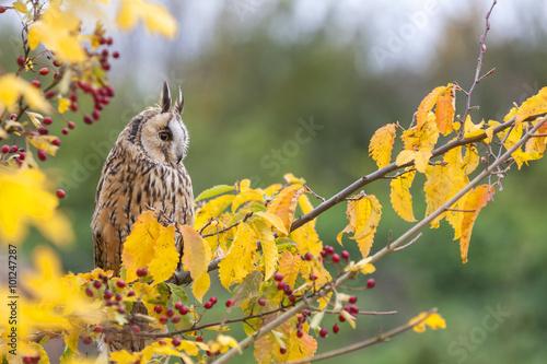 Wall mural Long Eared Owl Sitting in Tree