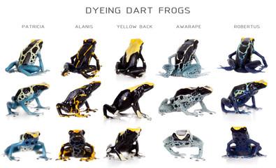 Dyeing poison dart frogs set, Dendrobates tinctorius, on white