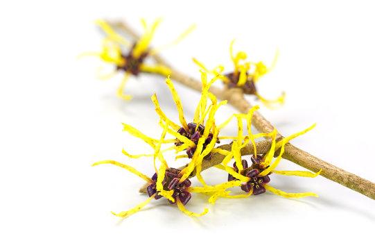 flowers of witch hazel, medicinal plant Hamamelis, isolated