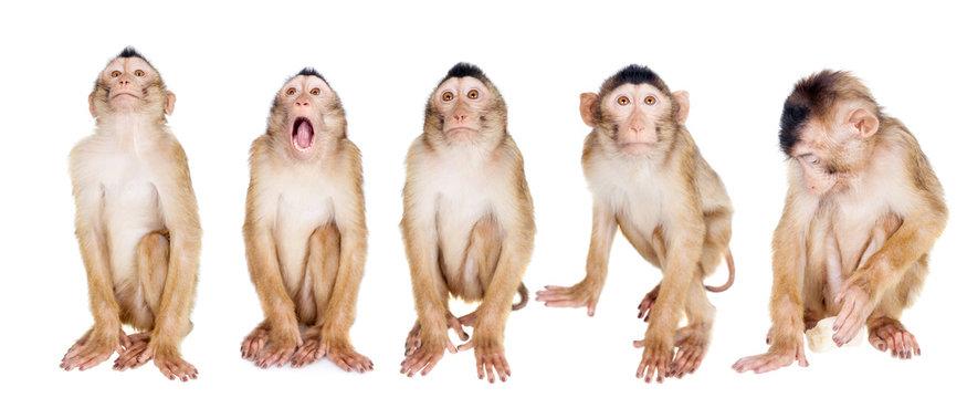 Juvenile Pig-tailed Macaque, Macaca nemestrina, on white