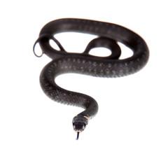 Grass Snake, Natrix natrix, on white
