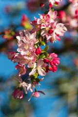 apple tree flowers in bloom