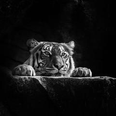 Photo sur Aluminium Bestsellers tiger