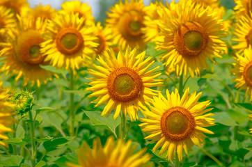 Blooming sunflower summer