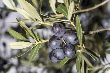 A sprig full of ripe black olives