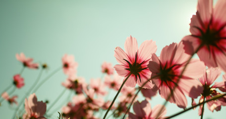 cosmos flowers in the garden with sky  background.