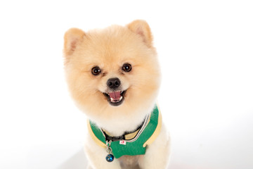 pomeranian dog short hair on white background