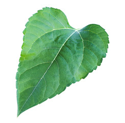Sunflower leaf