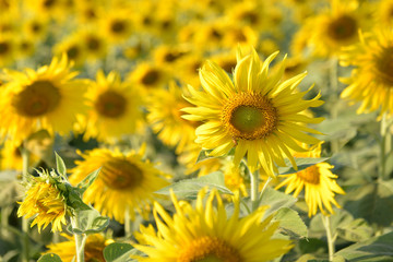 Sunflower fields in addition to agricultural produce is beautifu