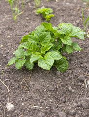 potato plant growing