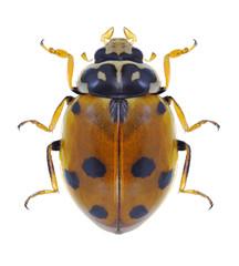 Beetle Hippodamia variegata