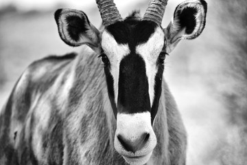 portrait of an oryx at kgalagadi