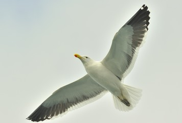 Kelp gull (Larus dominicanus), also known as the Dominican gull