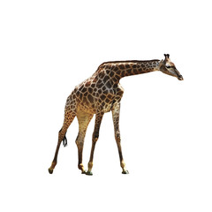 Beautiful graceful giraffe on isolated background. Beautiful African animal with a long neck. Spotted giraffe.