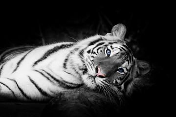 Poster Panther white tiger