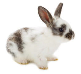 close-up white-black rabbit, isolated on white