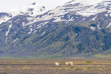 Icelandic sheep grazing in front of high mountaints - Þórsmörk National Park.