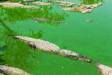 crocodile in thailand
