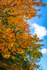 Autumn leaves on a tree on a sunny day