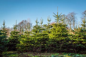 Pine trees at a plantation
