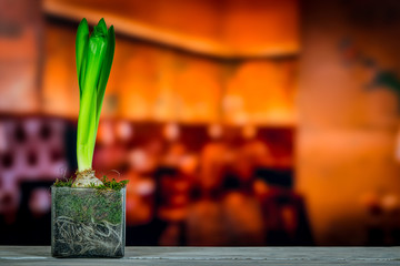 Hyacinth plant on a wooden table