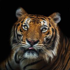 young sumatran tiger walking out of shadow/Tiger