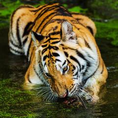 young sumatran tiger walking out of shadow