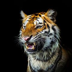 Young sumatran tiger walking out of phantom