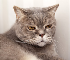 Portrait of an angry gray cat