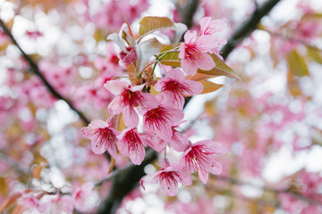 Spring Pink Cherry Blossoms in ChiangMai, Thailand
