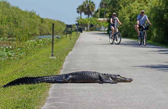 Tourists cycling past american alligator laying on bicycle path at Shark Valley in the Everglades National Park, Florida, USA