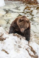 bear portrait in the frozen lake