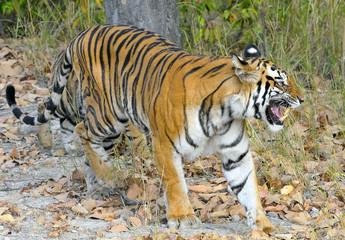 An Indian tiger in the wild. Royal Bengal tiger ( Panthera tigris )
