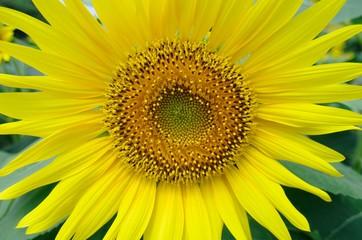 Sunflowers (Himawari)