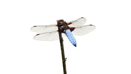Flat dragonfly (Libellula depressa)