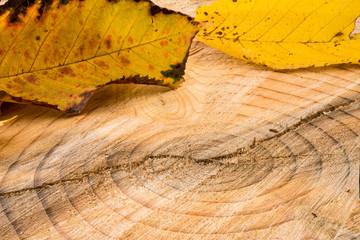 Jahresringe eines Baums mit gelbem Blättern