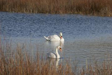Photo Blinds Swan Zwanen in duinmeer
