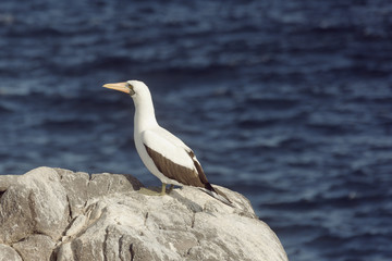 Nazca booby overlooking the ocean. Selective focus on the bird, the background is out of focus