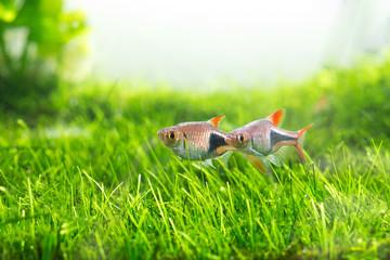 Green Aquarium, Rasbora heteromorph,