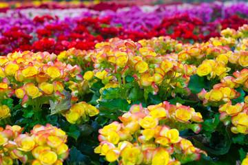 Yello Begonia flowers in the garden