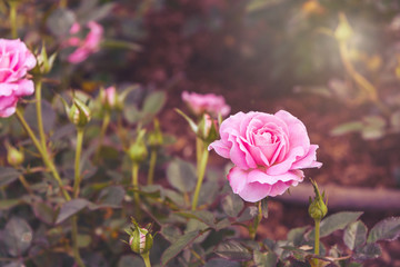 Vintage tone of beautiful pink roses in winter at Chiang Rai, Th