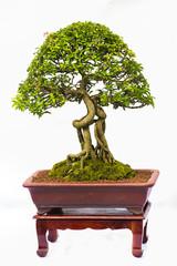 Bonsai pine tree against