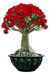 desert rose flower bonsai